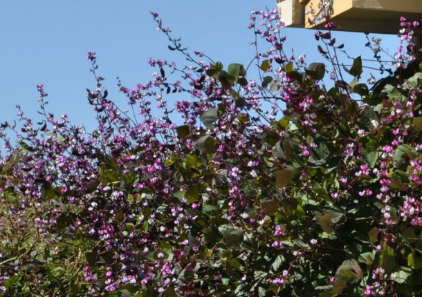 Our Vine in Full Bloom Summer 2012