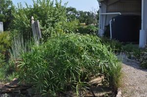 Umbrella Plant, Dallas Garden Buzz