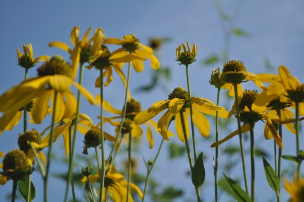 Looking up Through Rudbeckia Herbstonne