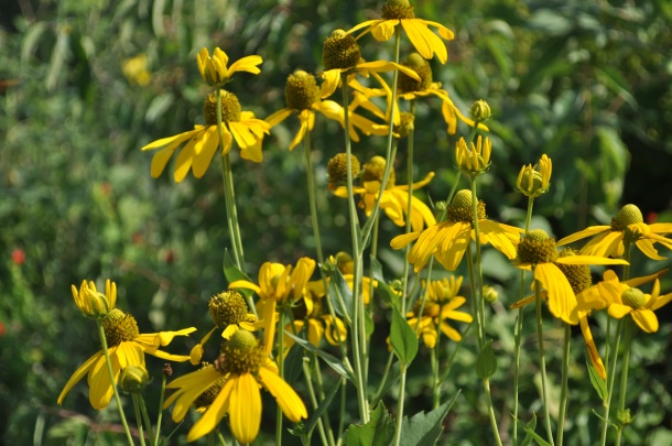 Another View of Rudbeckia Herbstonne