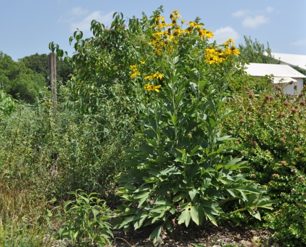 Large Coneflower at the Demonstration Garden