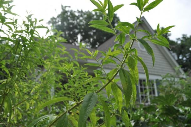 Lemon Verbena,Dallas Garden Buzz