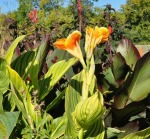 Cannas, Dallas Garden Buzz