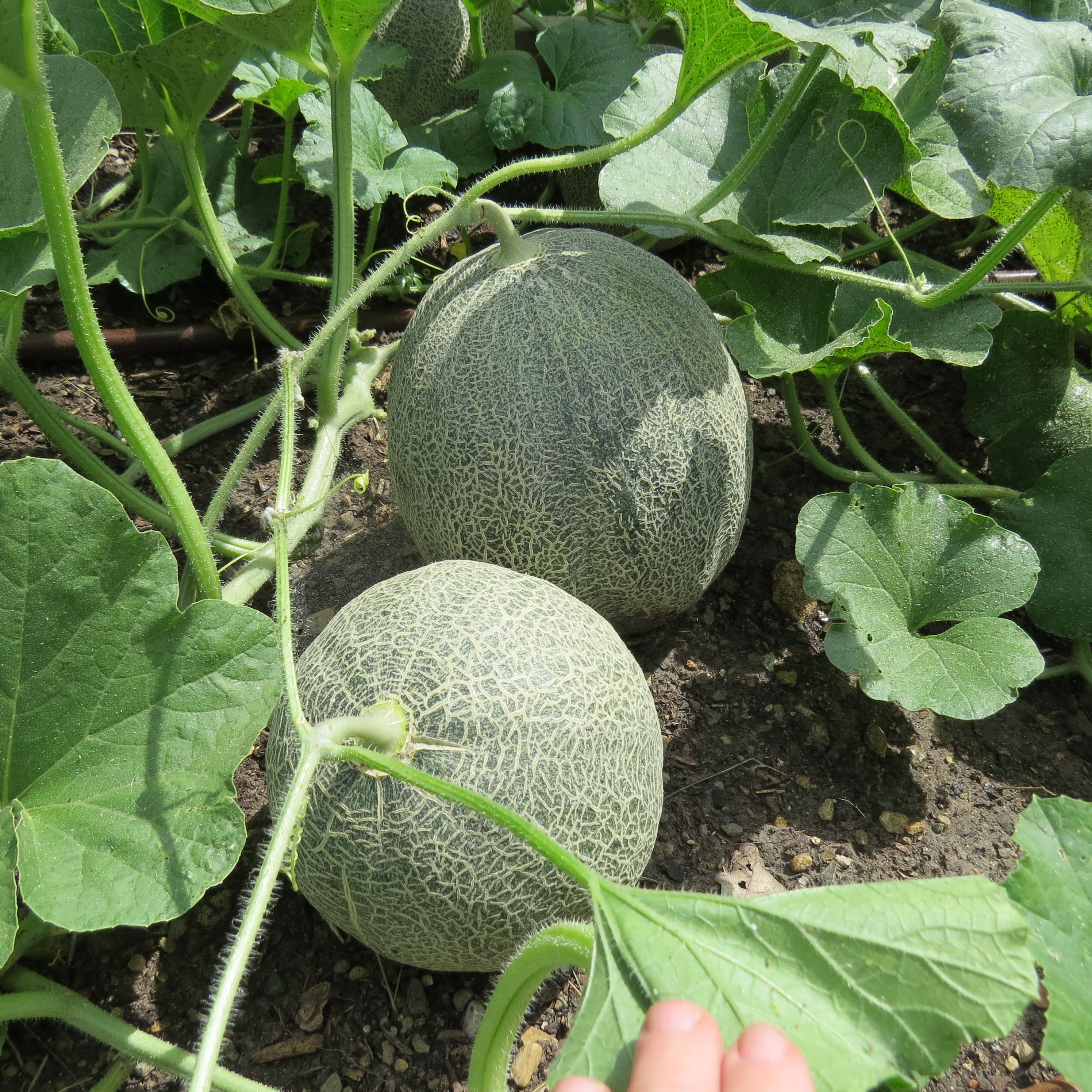 Growing Cantaloupe In Texas Dallas Garden Buzz Remember you can post in the forum if you have any questions. growing cantaloupe in texas dallas