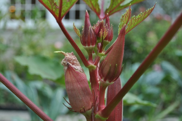 Red Burgundy Okra, Dallas Garden Buzz