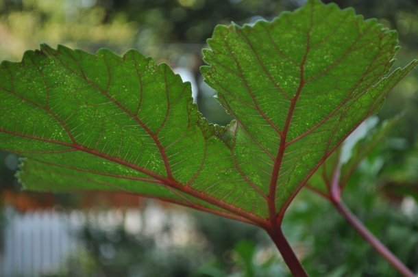 Okra Leaf, Dallas Garden Buzz