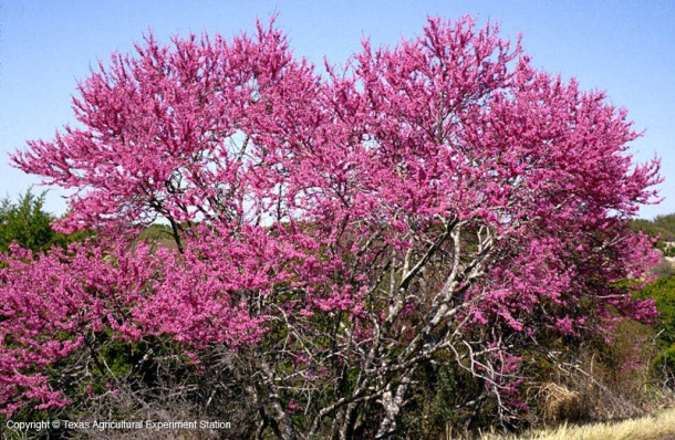 Texas Redbud Tree