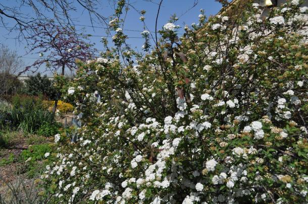 Shrubs at the Demonstration Garden include blooming Spirea and Abelia in the background
