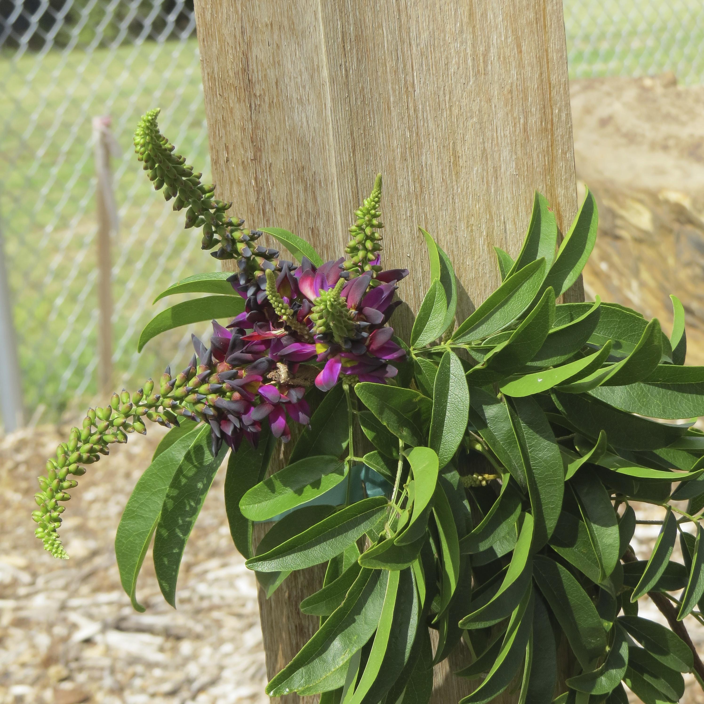 Millettia reticulata Evergreen Wisteria 5 Seeds