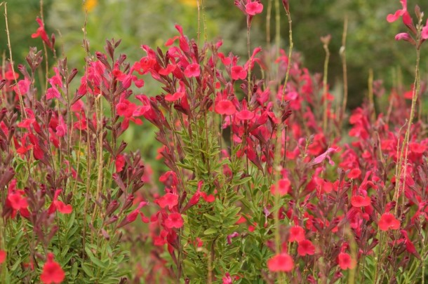 Blooming Salvia Greggi, raspberry color