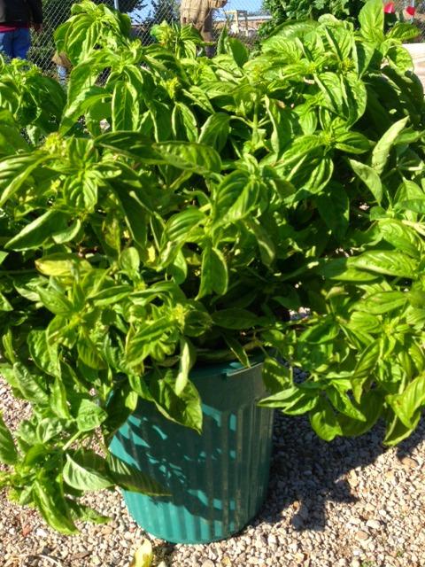 Basil Harvest