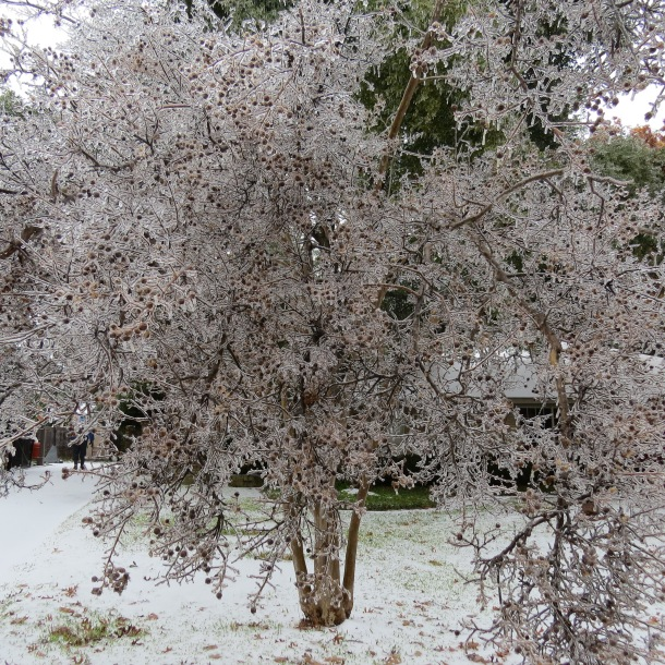 Above:Crepe Myrtle Tree Ensconced in Ice