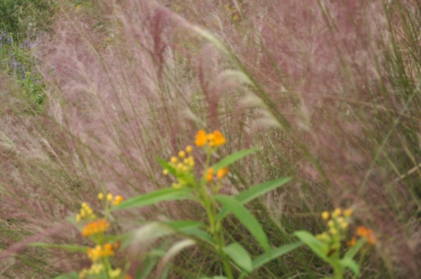 Above: A view into our Wildlife Garden looking through PInk Muhly Grass. Grasses provide cover for wildlife and their seed heads provide food.