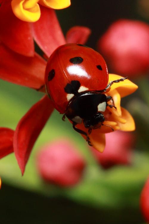 Real Colorful Ladybugs