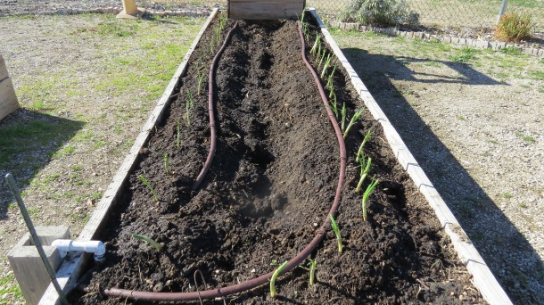 Above: Onions planted at The Demonstration Garden on Joe Field Road in 2014.