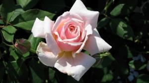 rose-demo garden