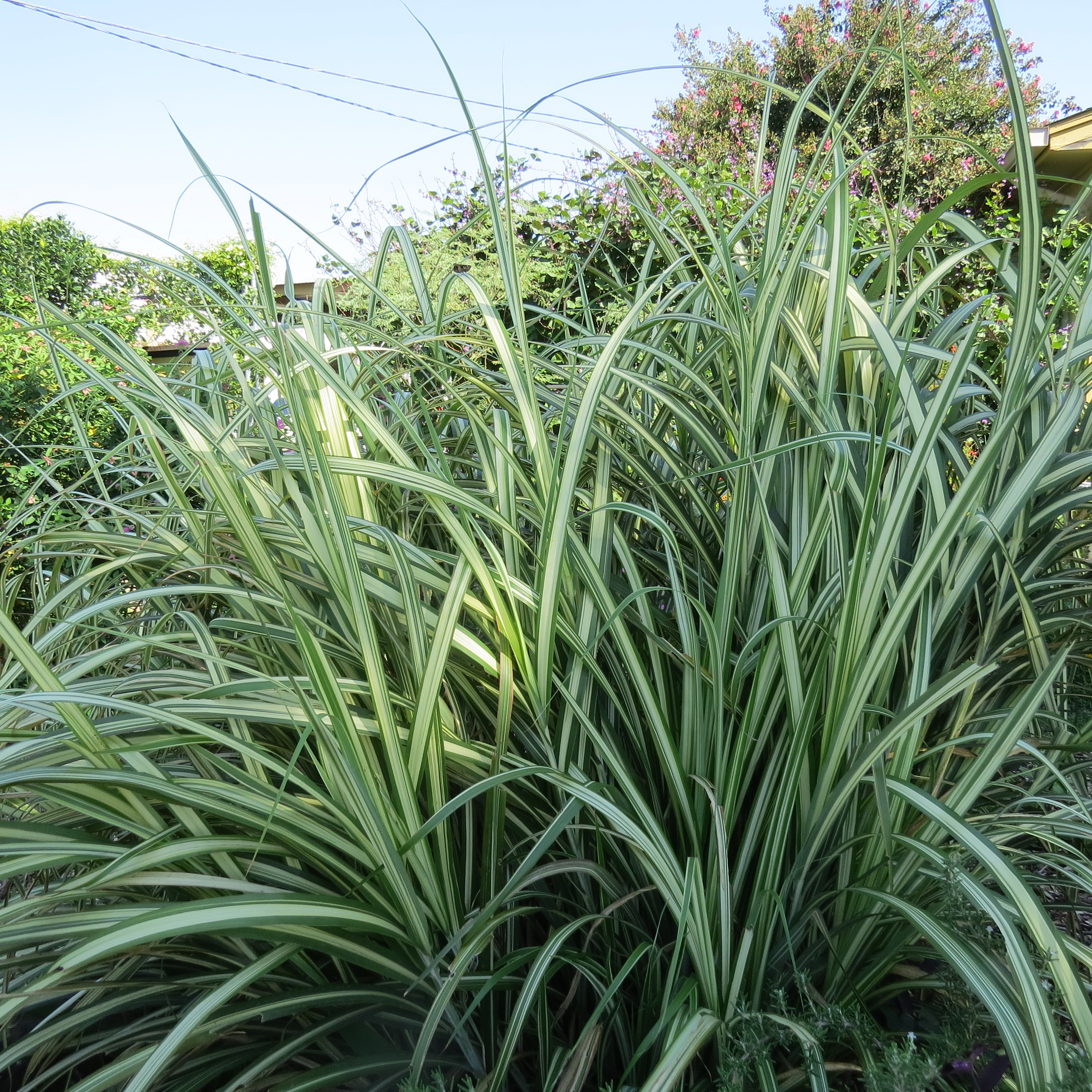 Perennial Grasses Care : Variegated maiden grass pruning clinic