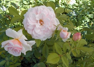 'Quietness' Rose, a Dr. Griffith Buck Rose