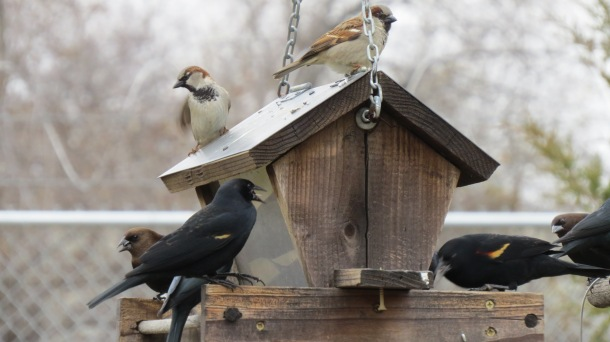 Above: Blackbirds, Brown Headed Cowbird, and Sparrows at The Demonstration Garden Feeder