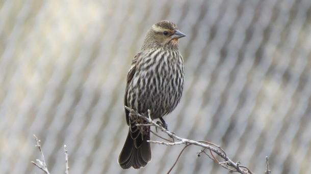 Above: Female Redwing Blackbird at our Feeder