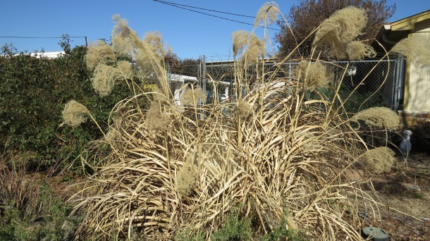 Above: Winter Version of Miscanthus