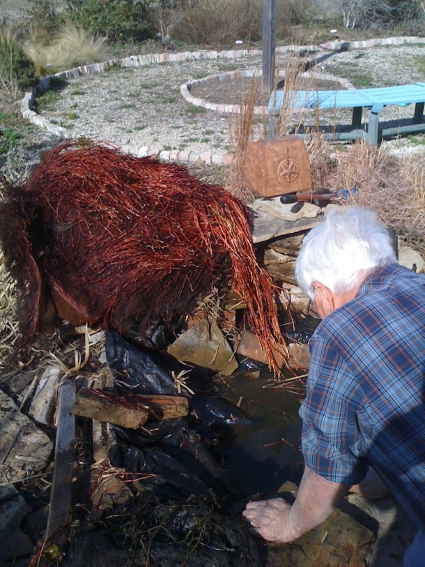 Above: Cleaning out the Pond, Red Roots Belong to our Papyrus to be Divided