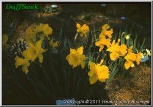 Daffodil 'Unsurpassable'