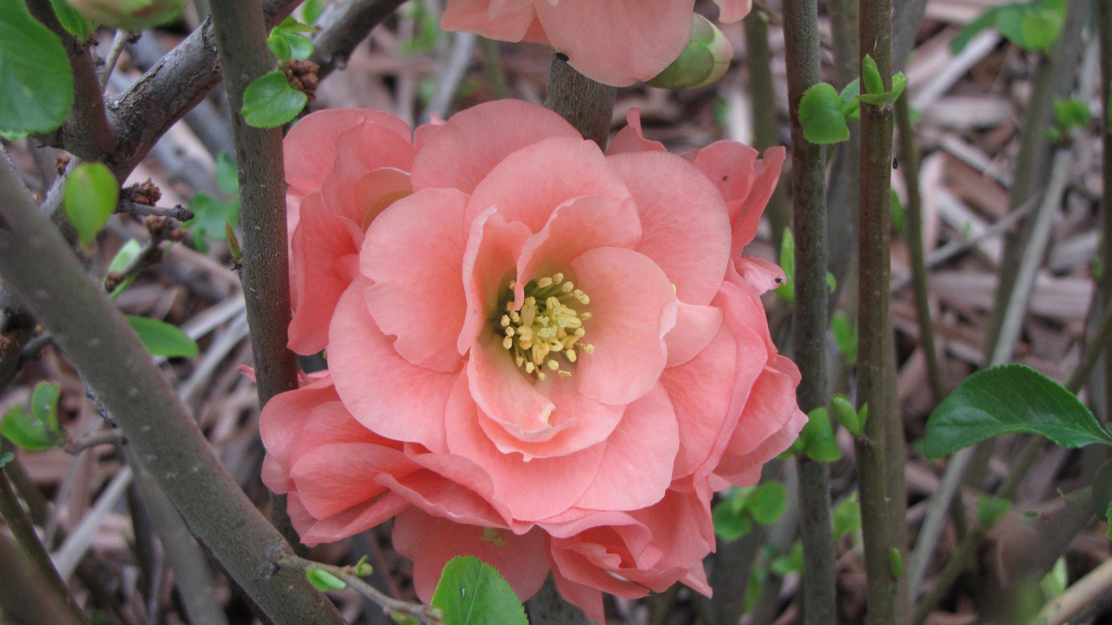 Texas scarlet flowering quince dallas garden buzz quince biocorpaavc Image collections