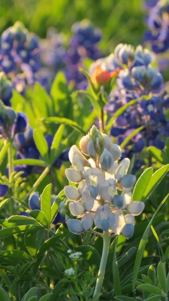 Bluebonnet White Starla