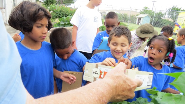 Excitement in the garden is contagious.  Jim is showing students our cotton plants and cotton bolls.