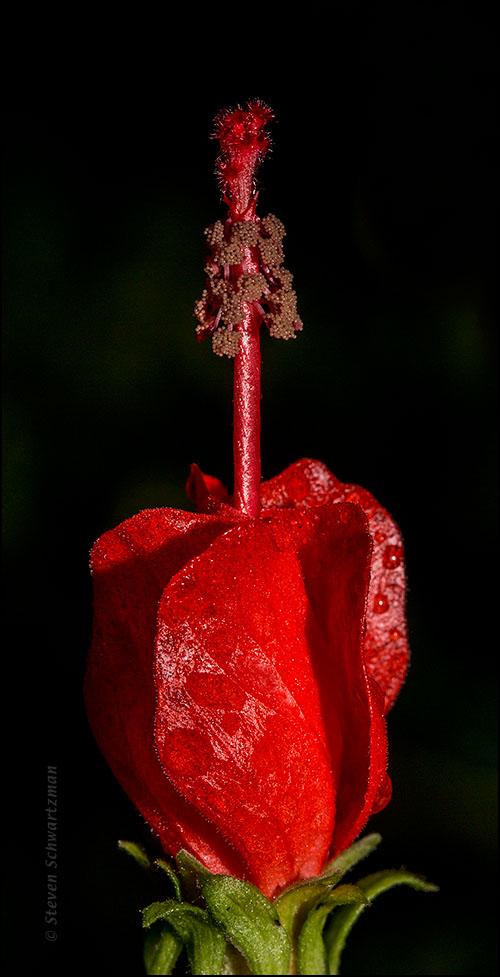 Turk's Cap Flower 7938