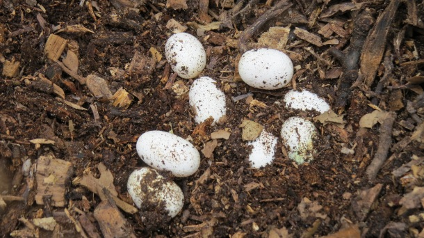 Snake Eggs Found at our Garden