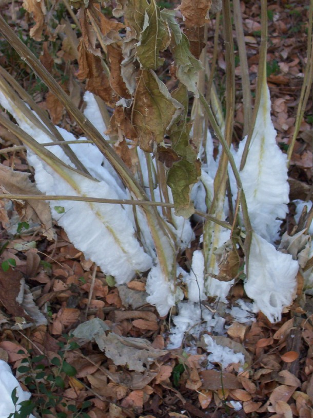 Frostweed after Frost!