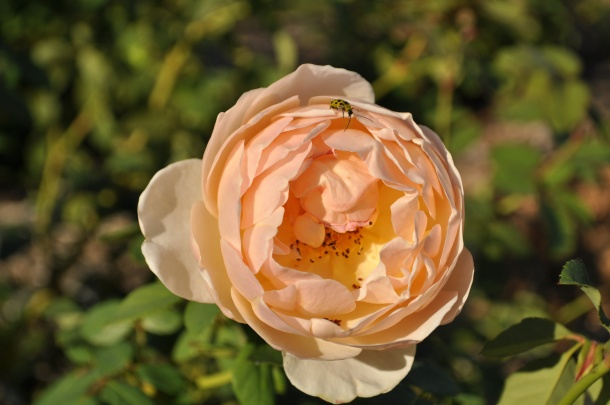 Meet the David Austin Rose, Jude the Obscure