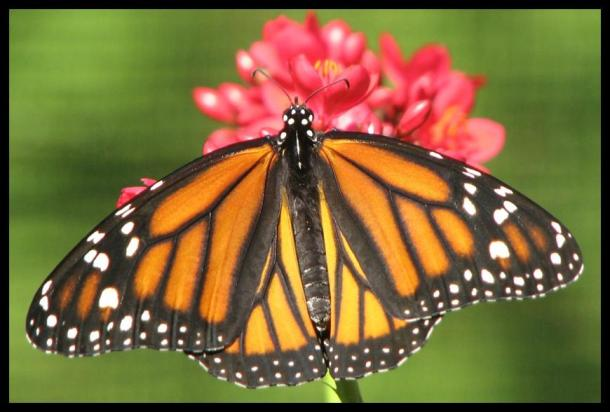 Above: Female Monarch Butterfly