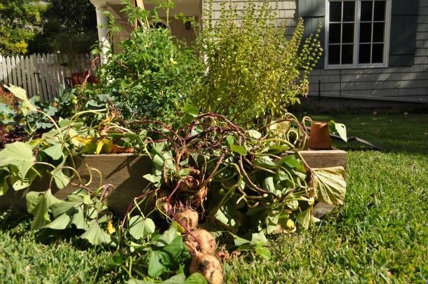 Sweet Potatoes from Ann's Garden