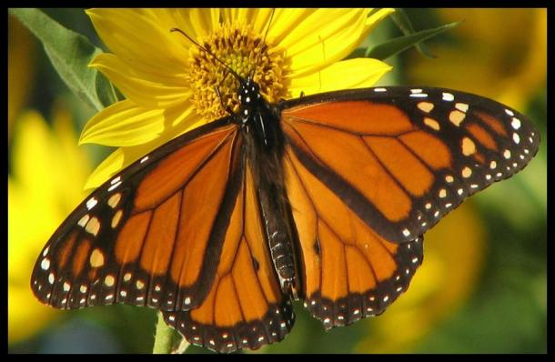 Above: Male Monarch Butterfly