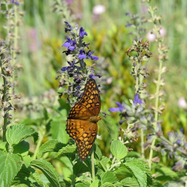 Variegated Fritillary on Salvia