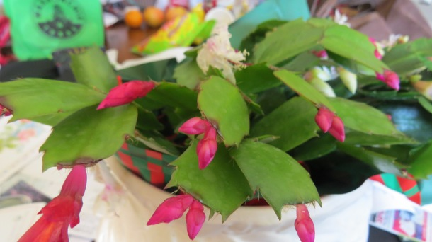 What do You Know-This is Actually a Thanksgiving Cactus