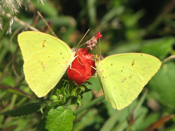 Cloudless Sulphur Butterflies on Turk's Cap, Photo by Janet D. Smith