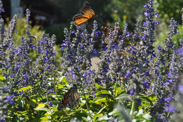 Monarch Butterflies Nectaring on Blue Salvia at our Old Location