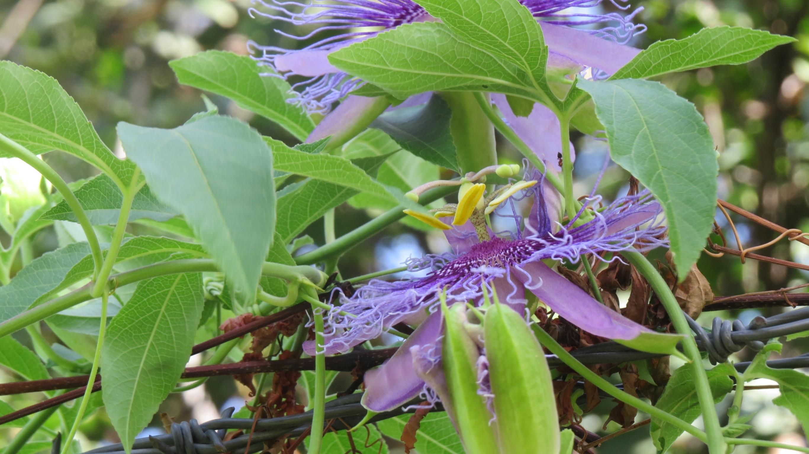 A Passion For Passion Vine Dallas Garden Buzz