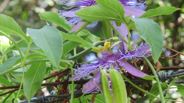 One More Picture of the Amazing Passion Flower
