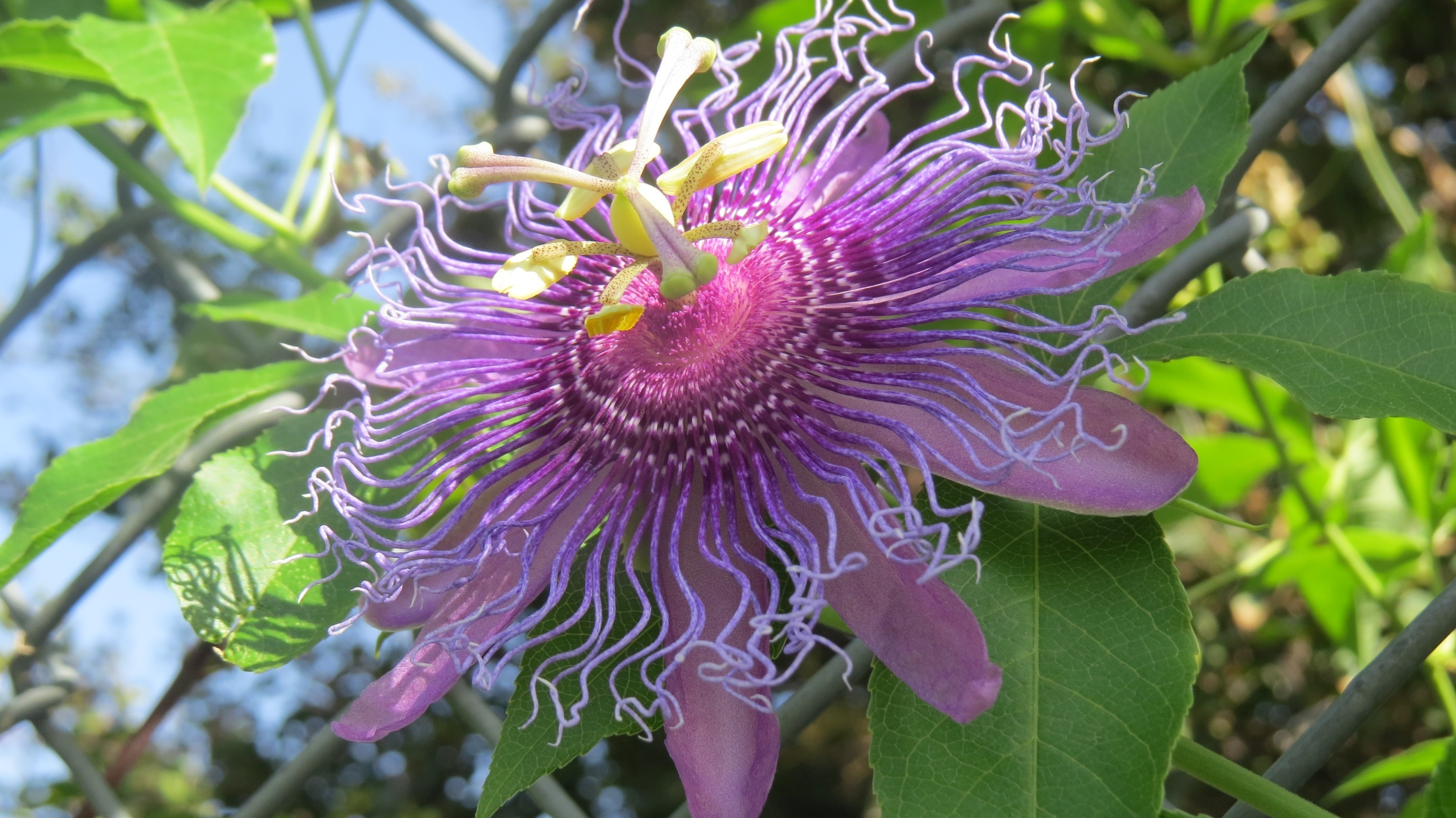 A Passion For Passion Vine Dallas Garden Buzz