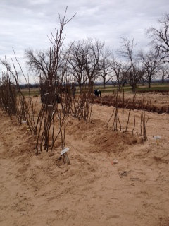 Fruit Trees at Womack Nursery