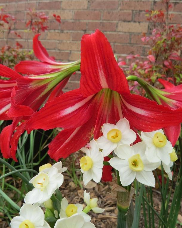 Hardy Amaryllis and daffodils 2015