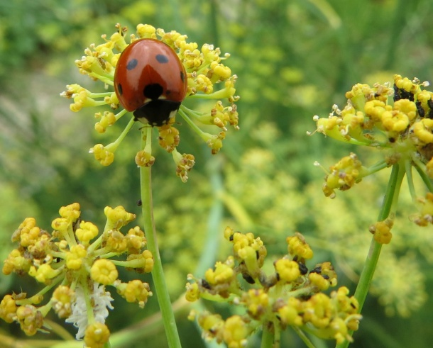 Ladybug, The Gardener's Friend, Known for Eating Aphids
