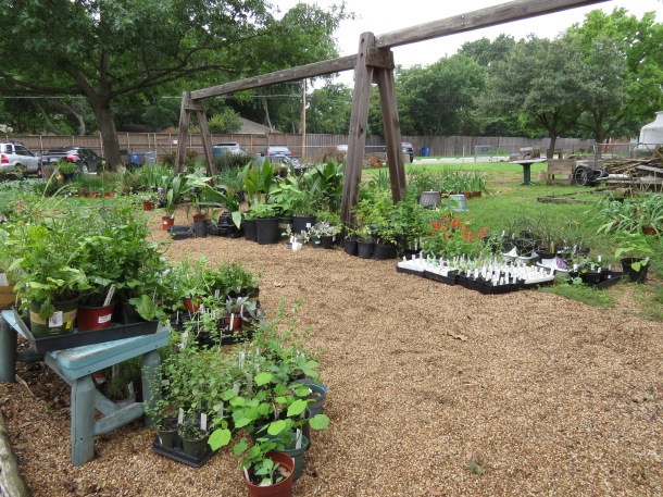 Oregano, Phlox, Tomato Starts, Fig Trees, Cast Iron, Coneflower, Great Prices!