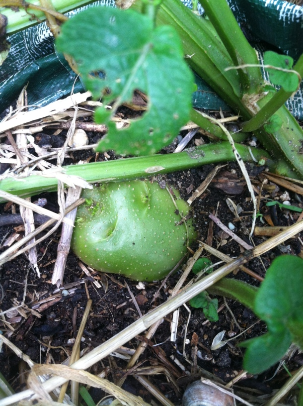 Neon Green Potato from Carolyn's Garden, Not Photo Shopped! Beware, Even Green Tinged Potatoes Should not be Eaten.