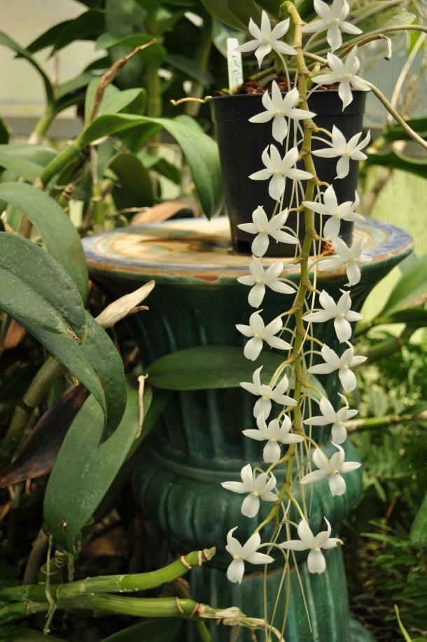Angracum from Madagascar